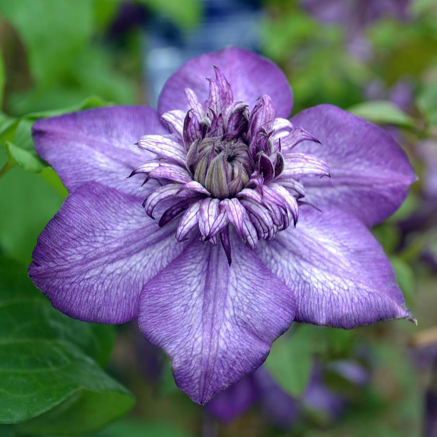 Purple Photograph - Purple Perfection. by Terence Davis