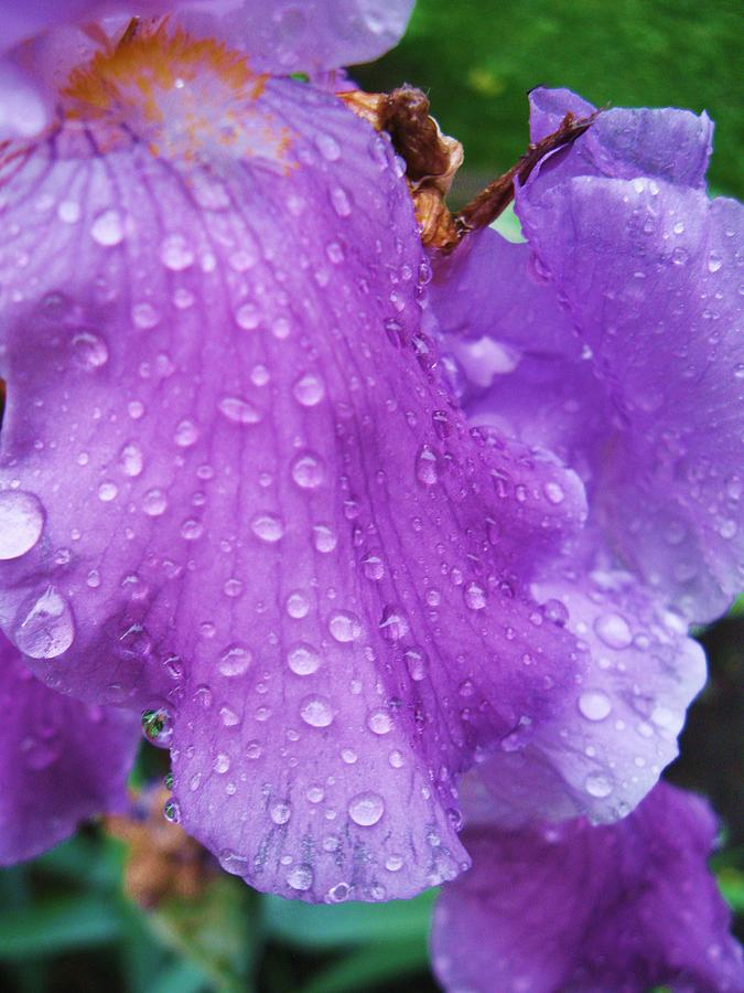 Purple Rain Photograph  - Purple Rain Fine Art Print