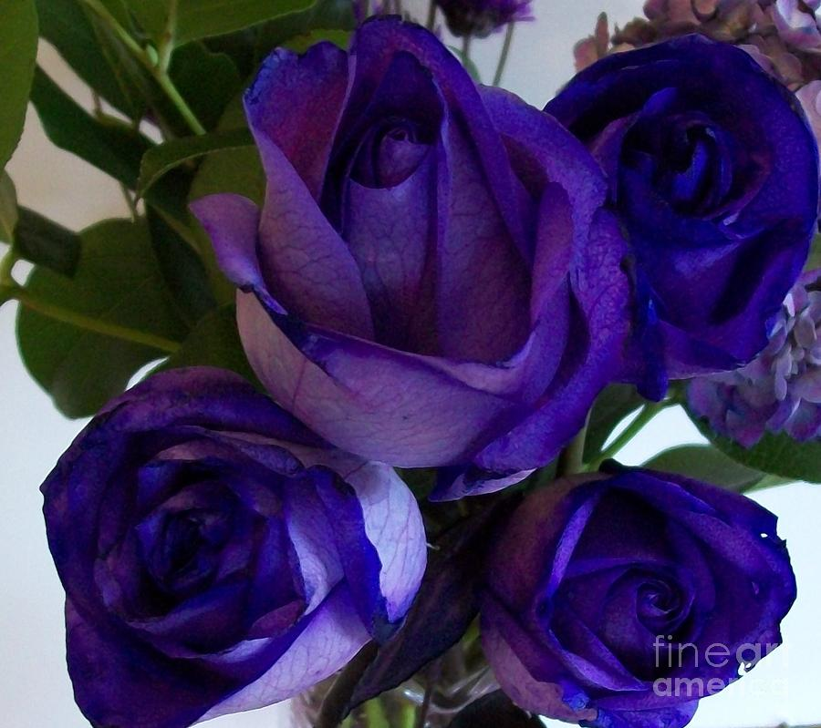 images of purple roses, Beautiful flower