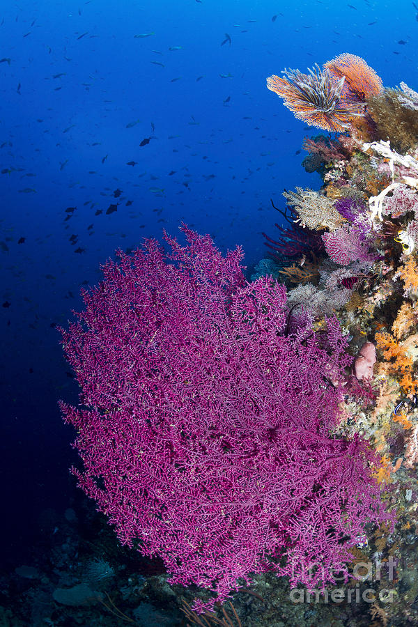 Purple Sea Fan In Raja Ampat, Indonesia Photograph  - Purple Sea Fan In Raja Ampat, Indonesia Fine Art Print