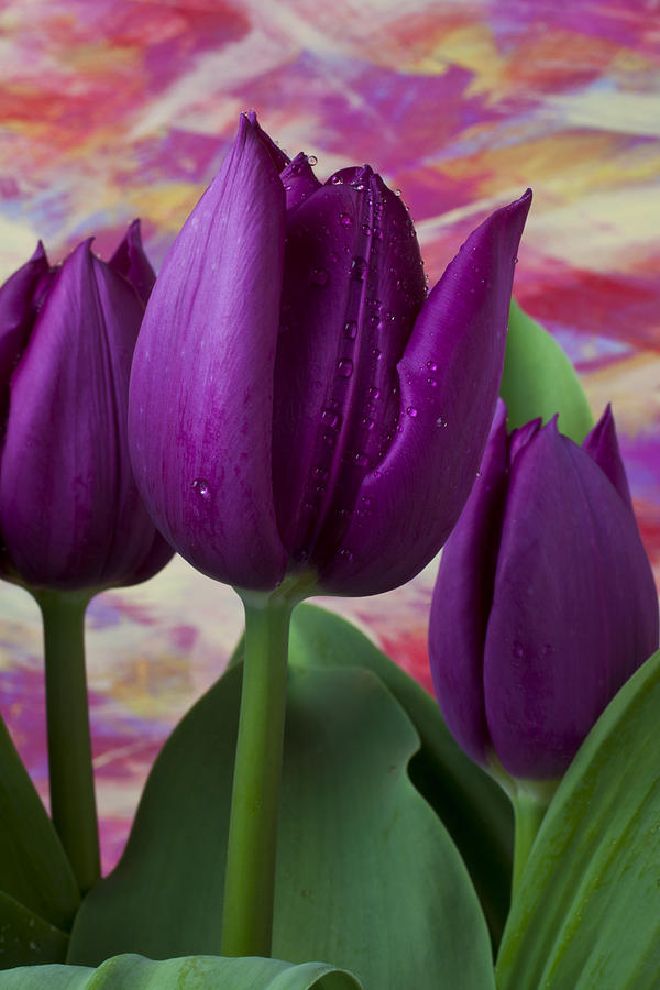 Purple Tulip Photograph - Purple Tulips by Garry Gay