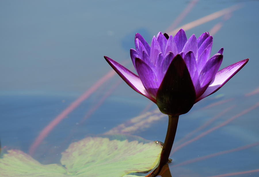 Purple Waterlily Photograph  - Purple Waterlily Fine Art Print