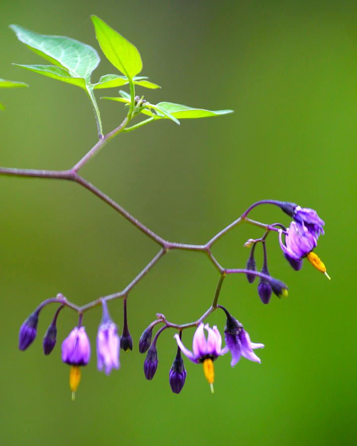 Purple Wild Flowers Photograph