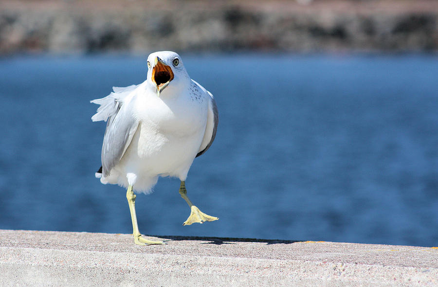 Seagull Photograph - Putting His Foot Down by Kristin Elmquist
