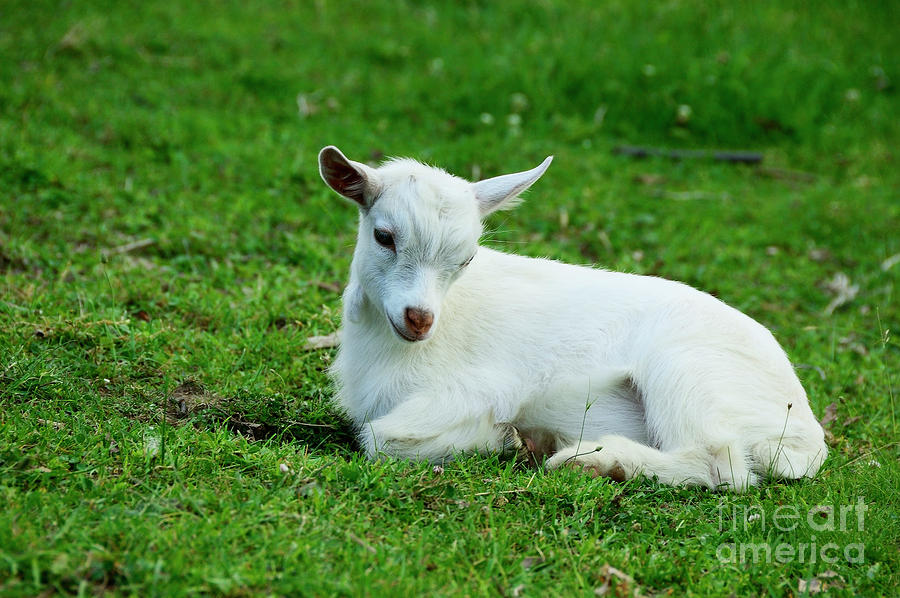 Pygmy Goat Kid Photograph by Thomas R Fletcher
