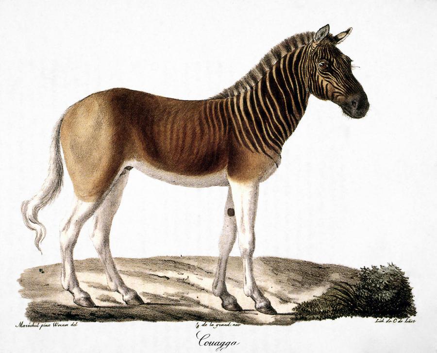 Quagga Equus Quagga By Granger