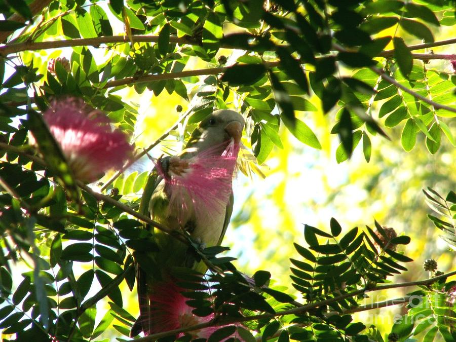 Quaker Parrot With Mimosa Flower Photograph