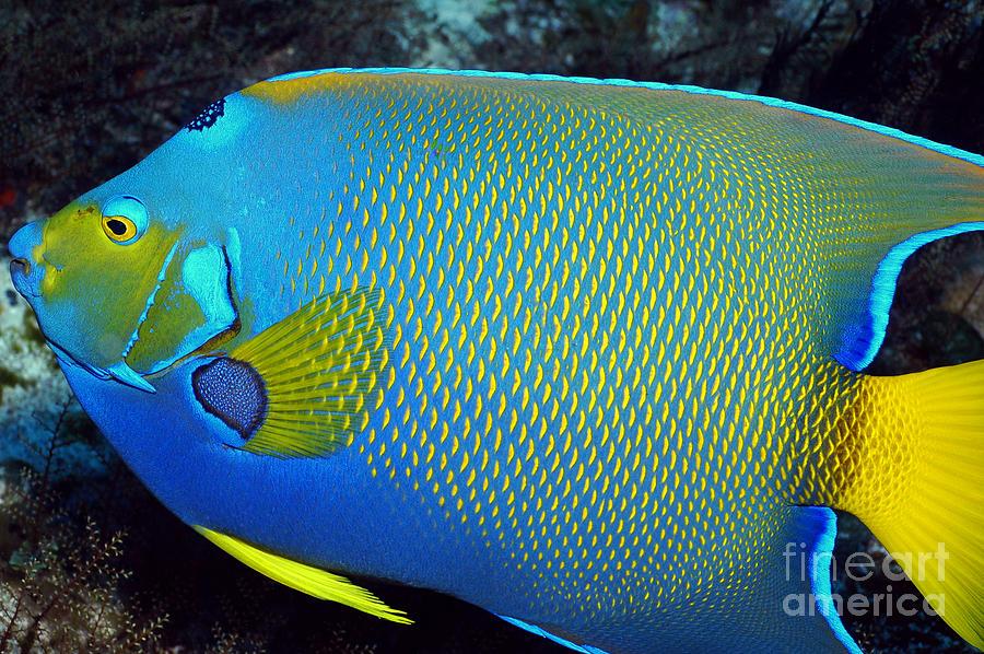 Queen angelfish photograph by greg amptman for Queen angel fish