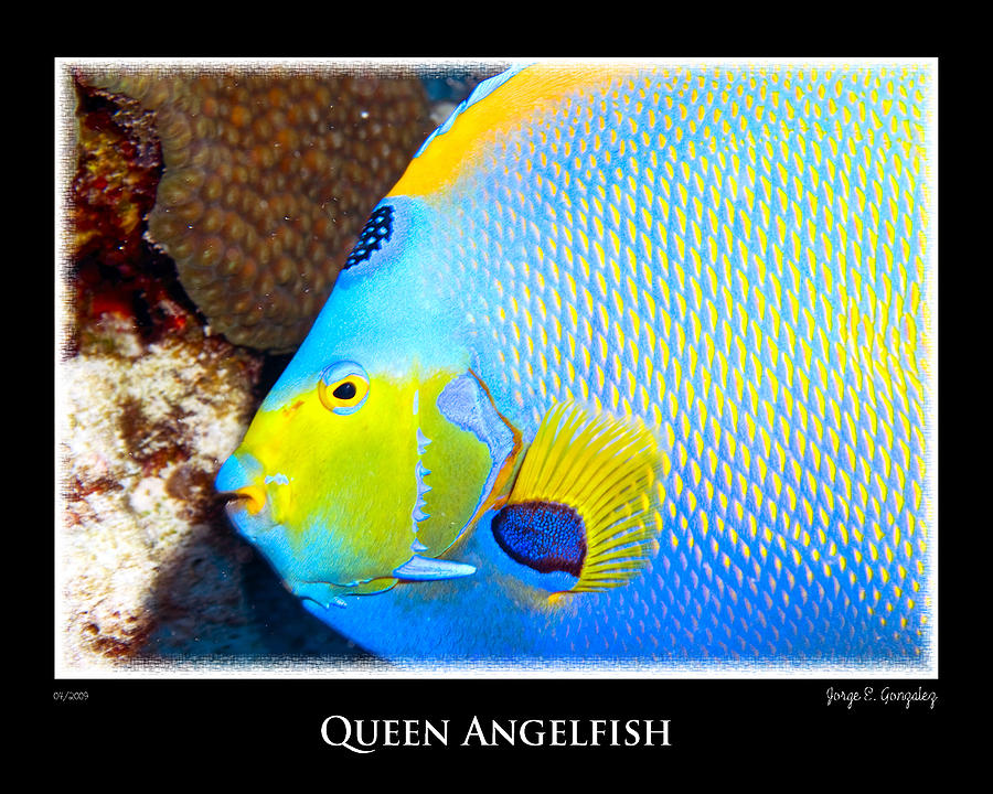 Queen Angelfish Photog...