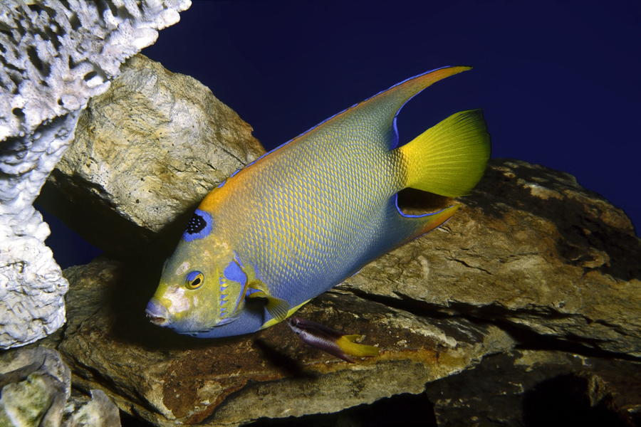 Queen Angelfish Photograph