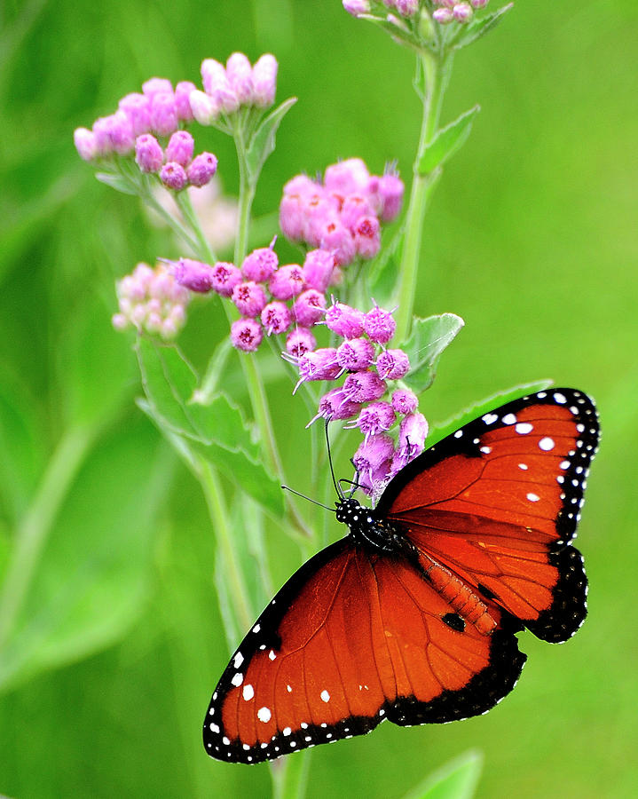 Queen Butterfly And Pink Flowers Photograph by Bill Dodsworth