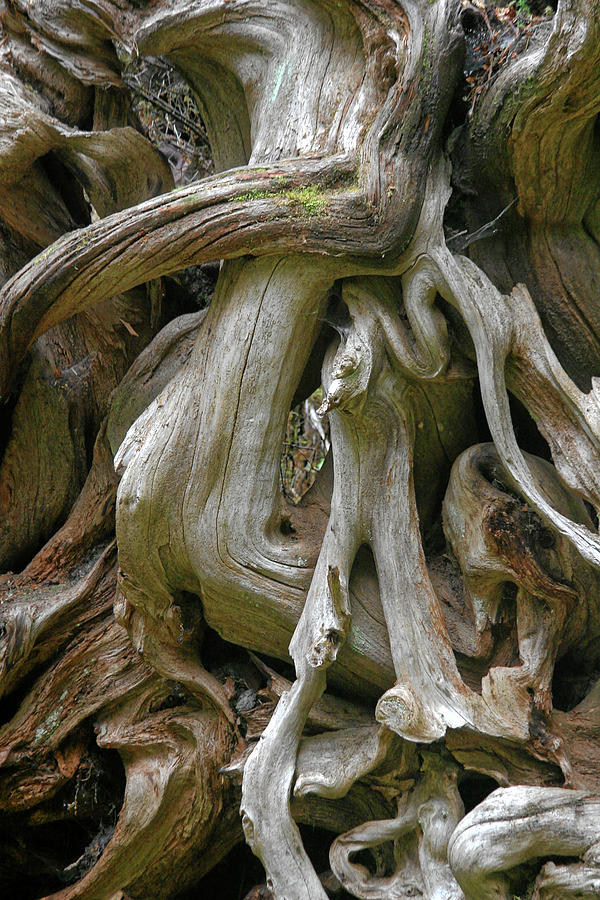 Quinault Valley Olympic Peninsula Wa - Exposed Root Structure Of A Giant Tree Photograph