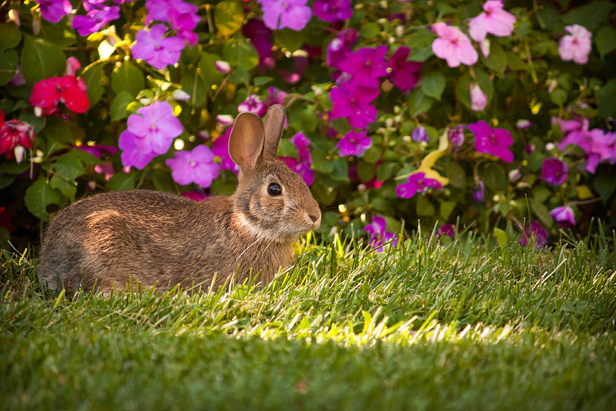 Rabbit In The Garden Photograph  - Rabbit In The Garden Fine Art Print