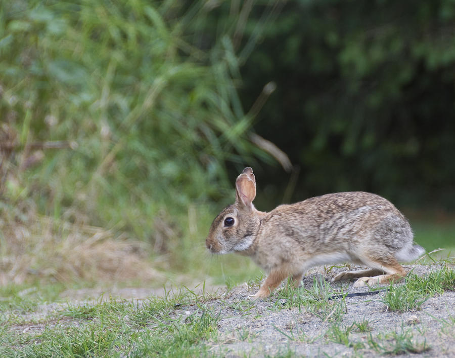 Rabbit On The Move Photograph  - Rabbit On The Move Fine Art Print