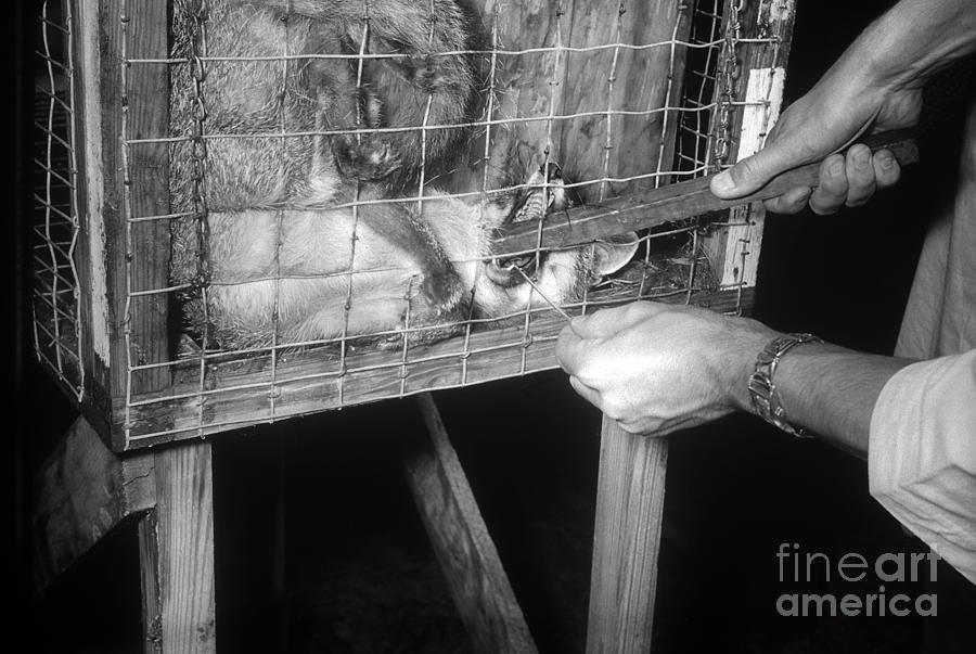 Rabid Fox, 1958 Photograph