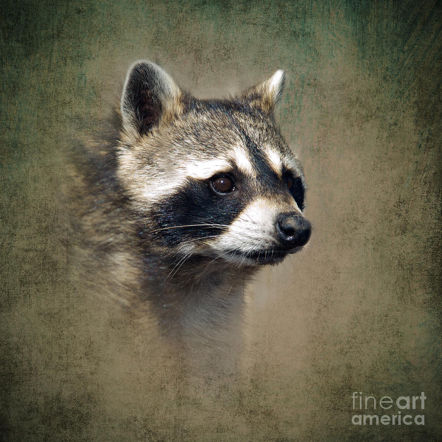 Raccoon Photographs - Raccoon  Raccoon Art