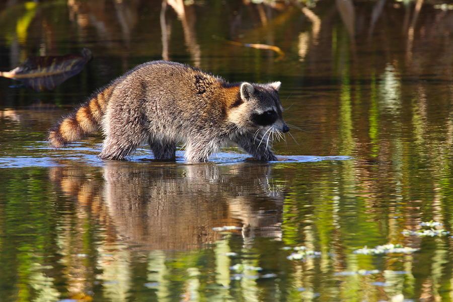Raccoon Photograph - Raccoon Foraging  by Bruce J Robinson