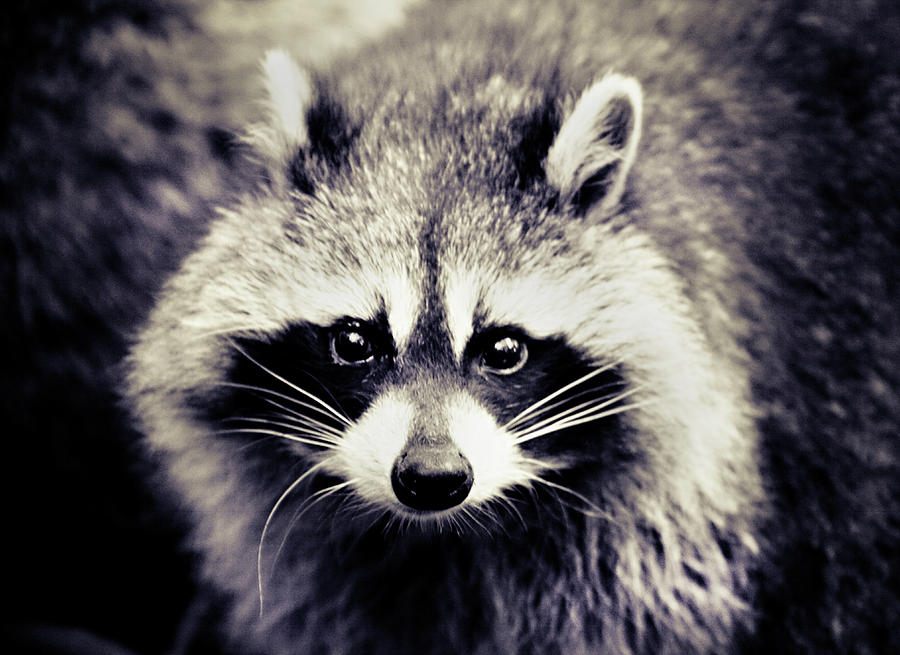 Raccoon Looking At Camera Photograph  - Raccoon Looking At Camera Fine Art Print
