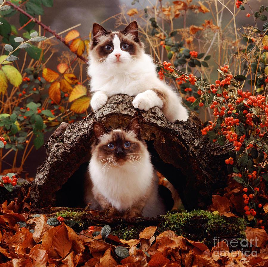 Ragdoll Kitten And Birman Kitten Photograph