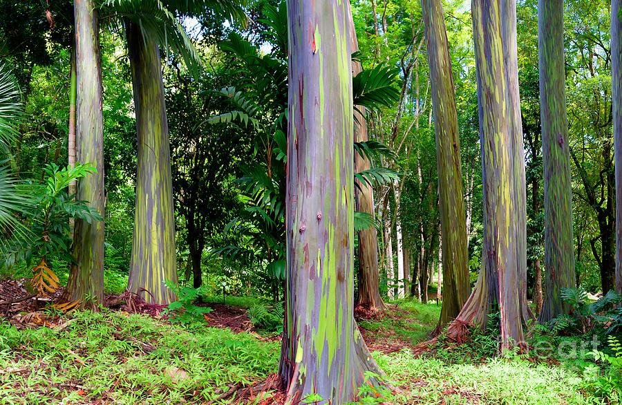 Rainbow Eucalyptus Photograph