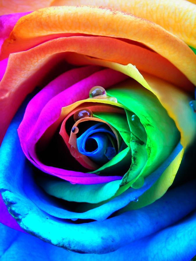Rainbow Rose Photograph  - Rainbow Rose Fine Art Print