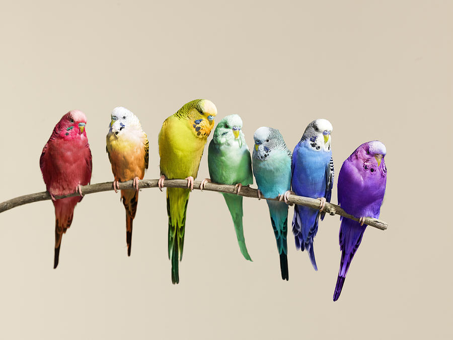 http://images.fineartamerica.com/images-medium-large/rainbow-row-of-budgies-sat-on-a-branch-walker-and-walker.jpg