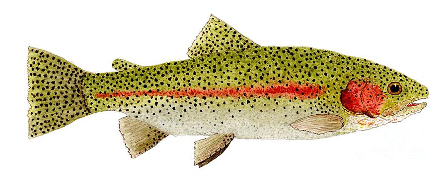 Rainbow Trout Study Painting