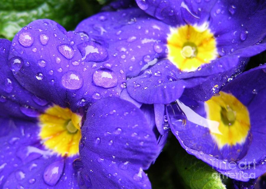 Raindrops On Blue Flowers Photograph