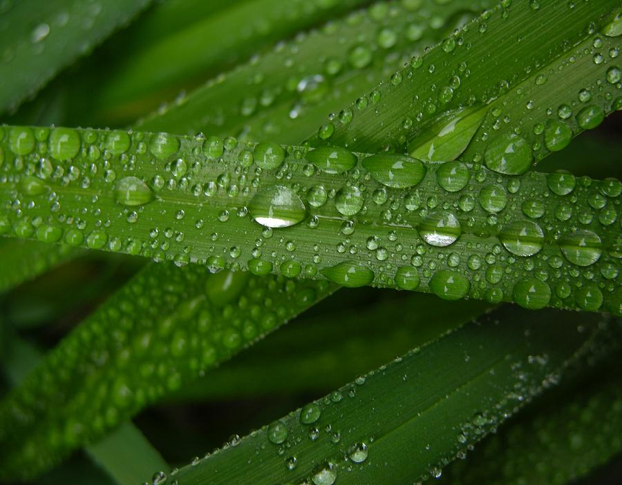 Raindrops On Green Leaves Photograph