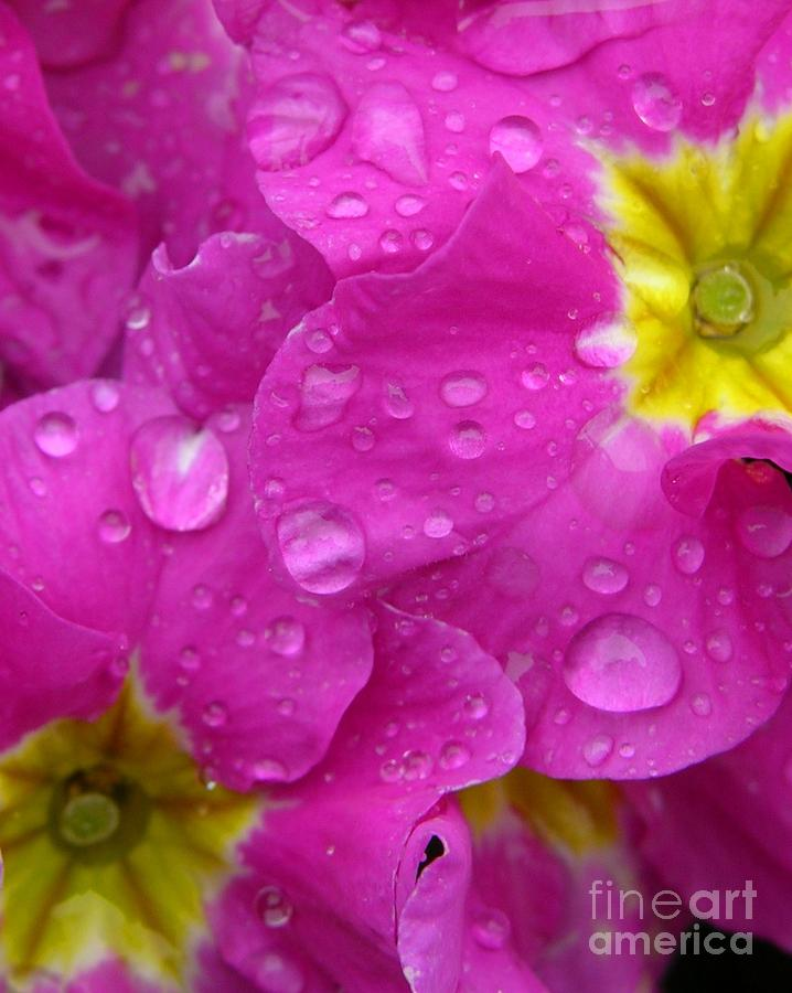 Raindrops On Pink Flowers Photograph