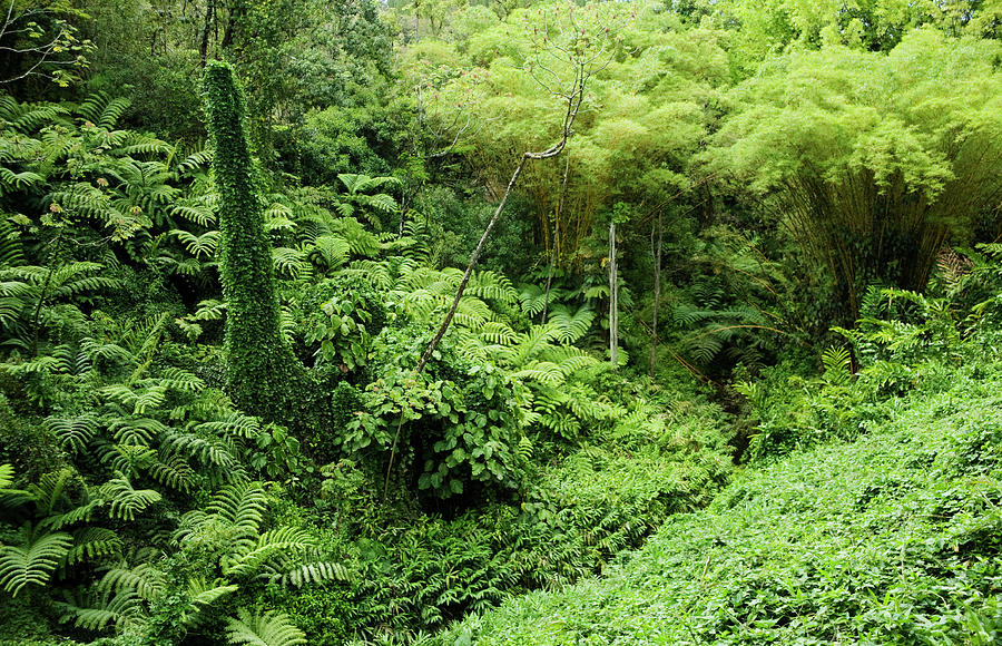 Rainforest On The Big Island: Big Island By Charmian Vistaunet