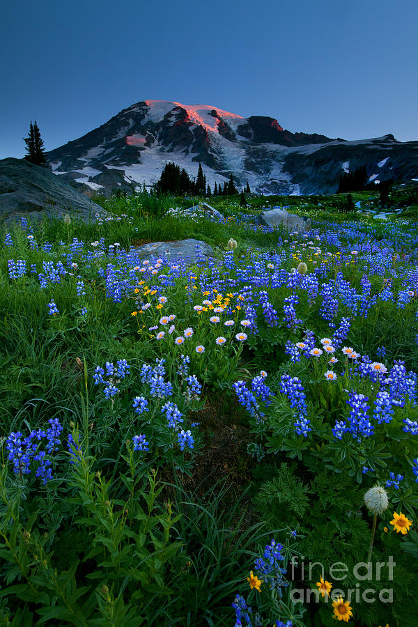 Rainier Wildflower Dawn Photograph