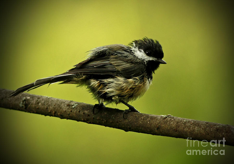 Rainy Days - Chickadee Photograph  - Rainy Days - Chickadee Fine Art Print