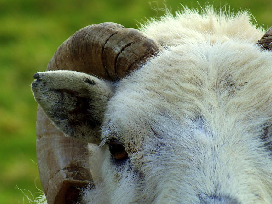 Ram Photograph - Ram by Lorainek Photographs