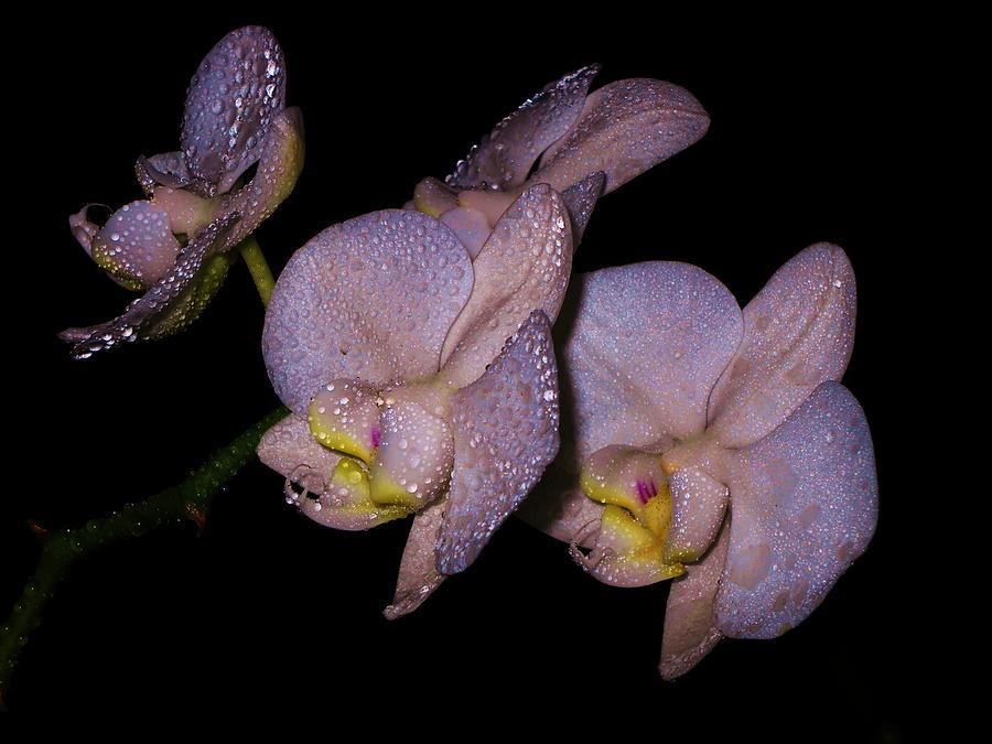 Rare Orchid by Adolfo hector Penas alvarado: fineartamerica.com/featured/rare-orchid-adolfo-hector-penas...