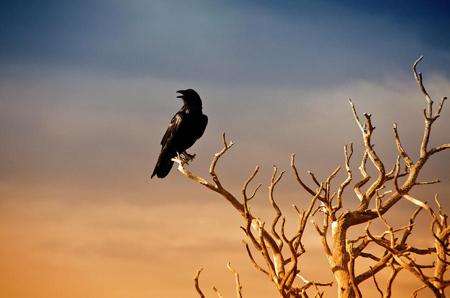 Raven On Sunlit Tree Branches, Grand Canyon Photograph