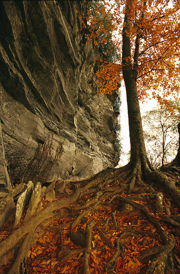 Raven Rock And Autumn Colored Beech Photograph  - Raven Rock And Autumn Colored Beech Fine Art Print