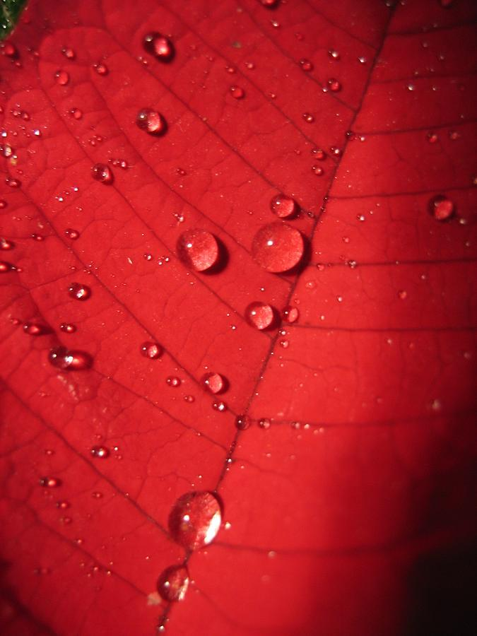 Read Leaf With Drops Photograph  - Read Leaf With Drops Fine Art Print