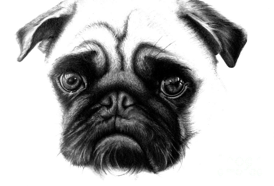 Realistic Pencil Drawing Of A Pug Dog Drawing by Debbie Engel