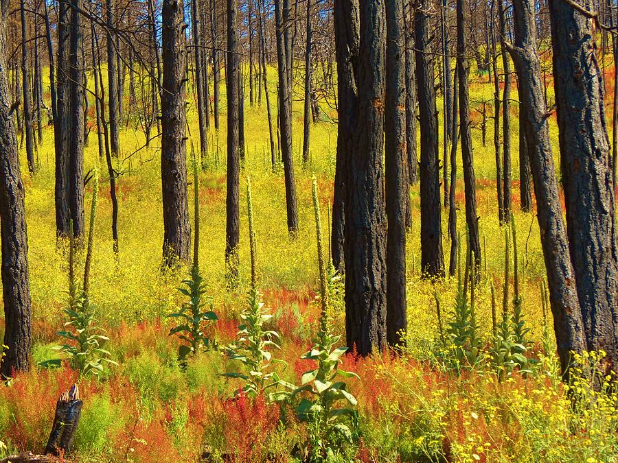 The Darkened Tree Trunks From Forest Fires Contrast With The Regrowth Of Wildflowers And Other Foliage In The Wilds Of New Mexico.  Mother Nature Has A Plan Of Rebirth!   Photographer Sandy Feutz/feva Fotos Photograph - Rebirth by Feva  Fotos