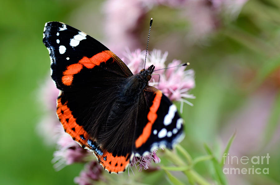Red Admiral Butterfly Photograph  - Red Admiral Butterfly Fine Art Print