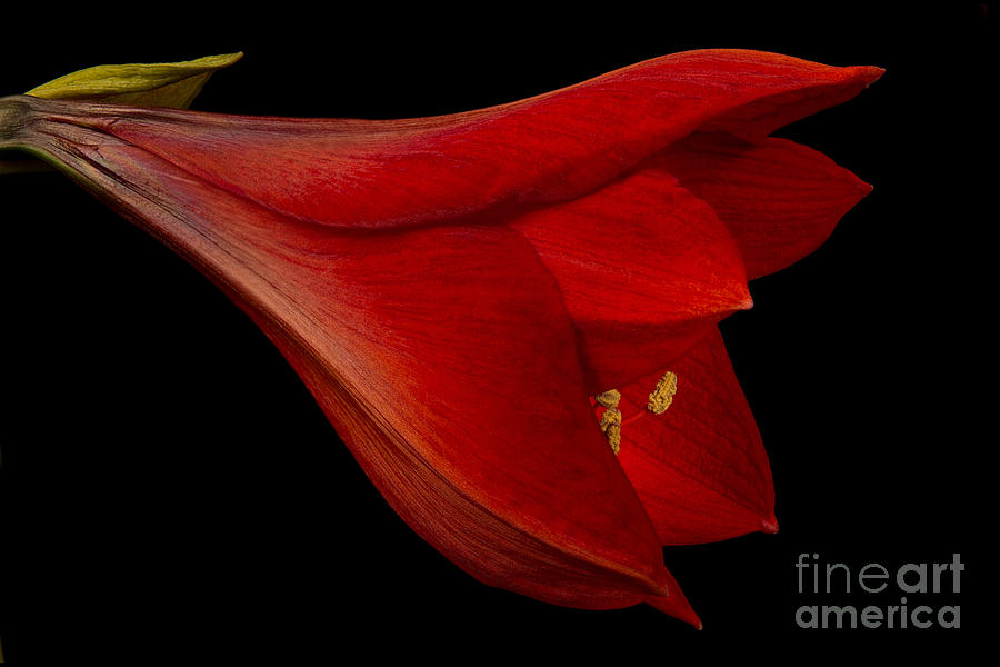 Red Amaryllis - 1 Photograph  - Red Amaryllis - 1 Fine Art Print