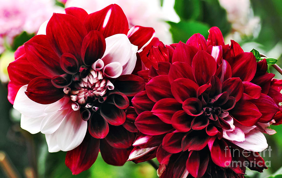 Red And White Variegated Dahlia Photograph  - Red And White Variegated Dahlia Fine Art Print