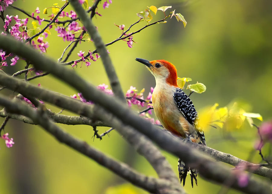 Red Bellied In Tree Photograph