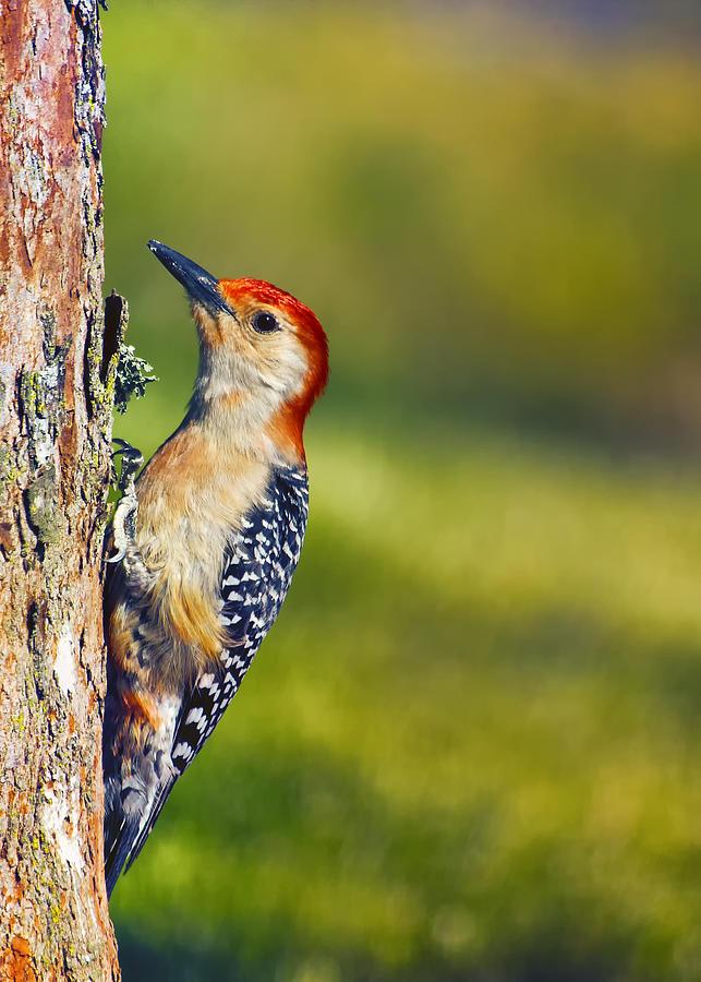 Red-bellied Woodpecker Photograph - Red-bellied Tree Pecker by Bill Tiepelman
