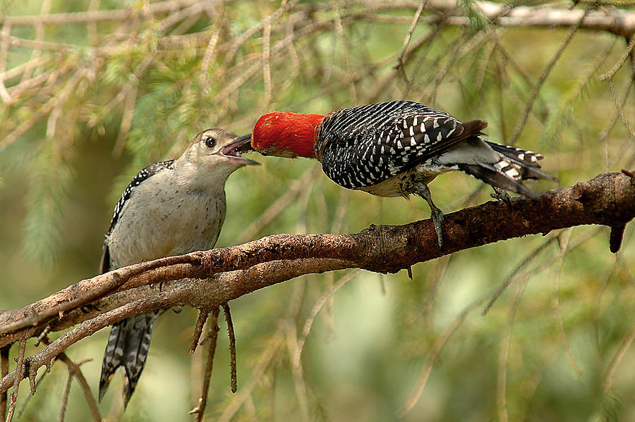 Red Bellied Woodpeck Feeding Young Photograph