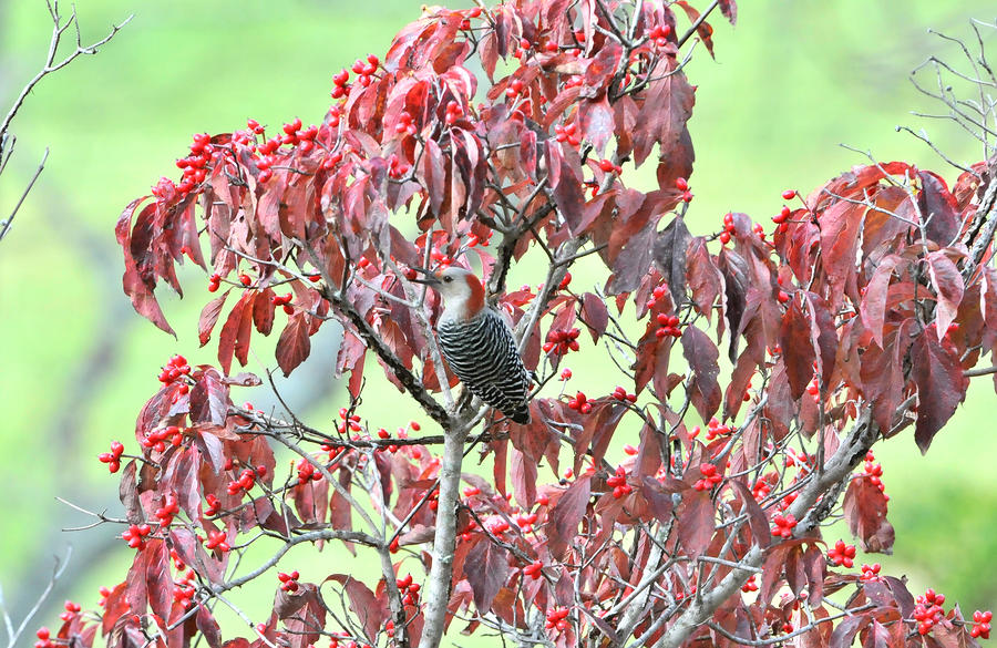 Red Bellied Woodpecker In Dogwood Photograph  - Red Bellied Woodpecker In Dogwood Fine Art Print