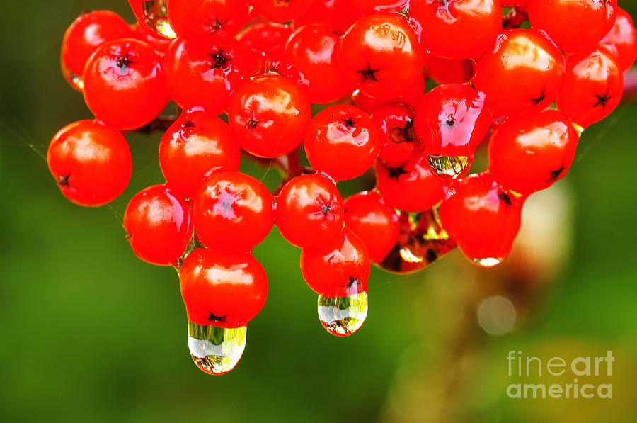 Red Berries And Raindrops Photograph