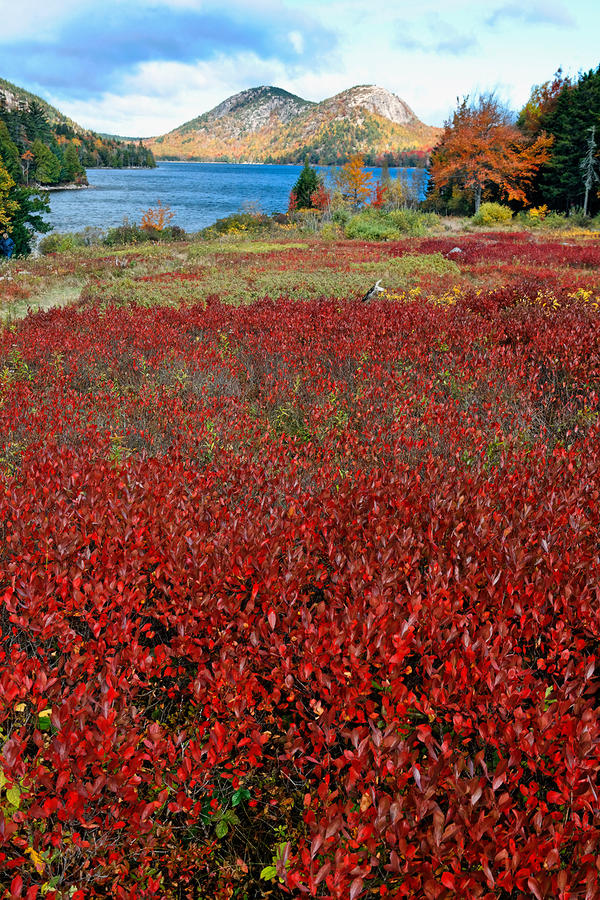Red Berry Bushes At Jordan Pond Photograph  - Red Berry Bushes At Jordan Pond Fine Art Print