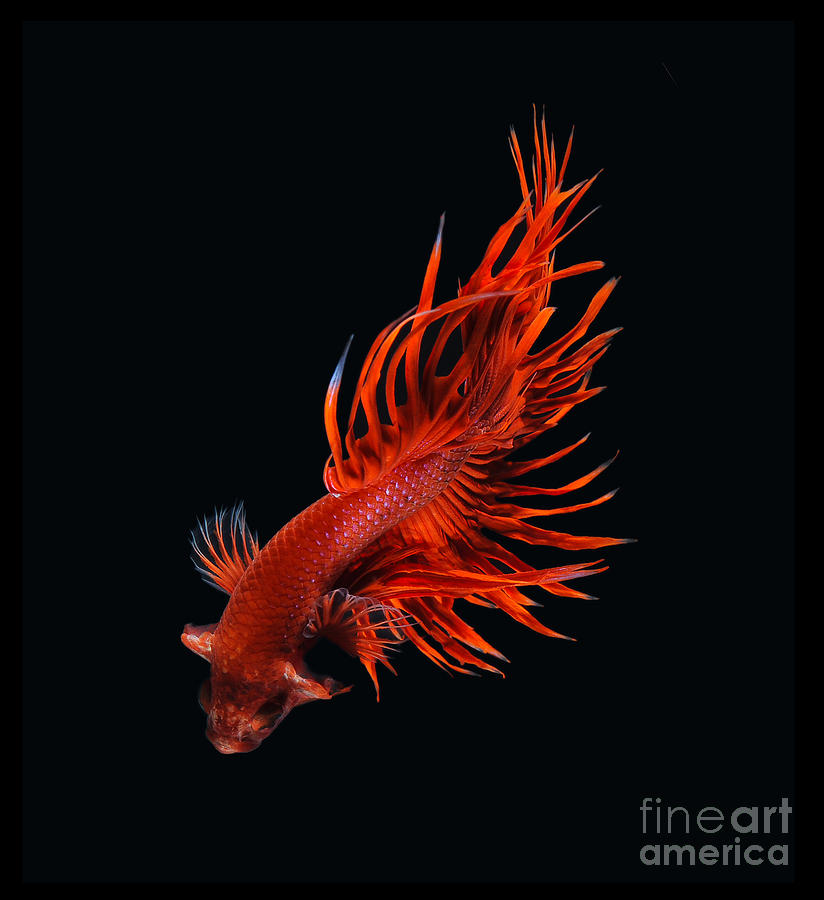1000 images about betta photos on pinterest for Red betta fish